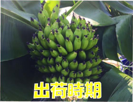 食べる時期は収穫後常温保管して青くても軟らかくなった時