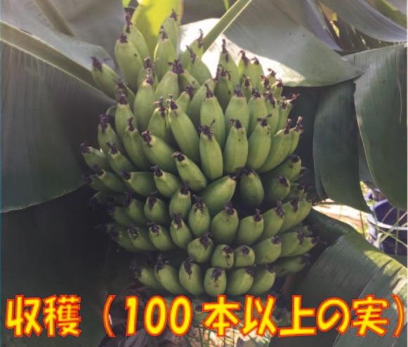 甘くてあんぜんなバナナをお届けします。