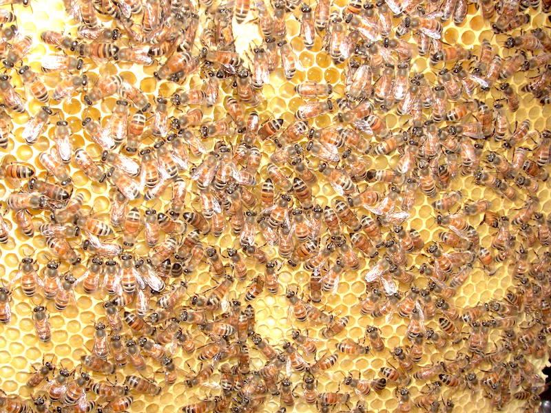元気いっぱいのミツバチたち - 安全で美味しいハチミツです