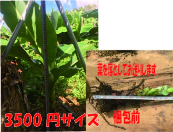 石垣島ミニバナナの苗 - 石垣島 ミニバナナ農場