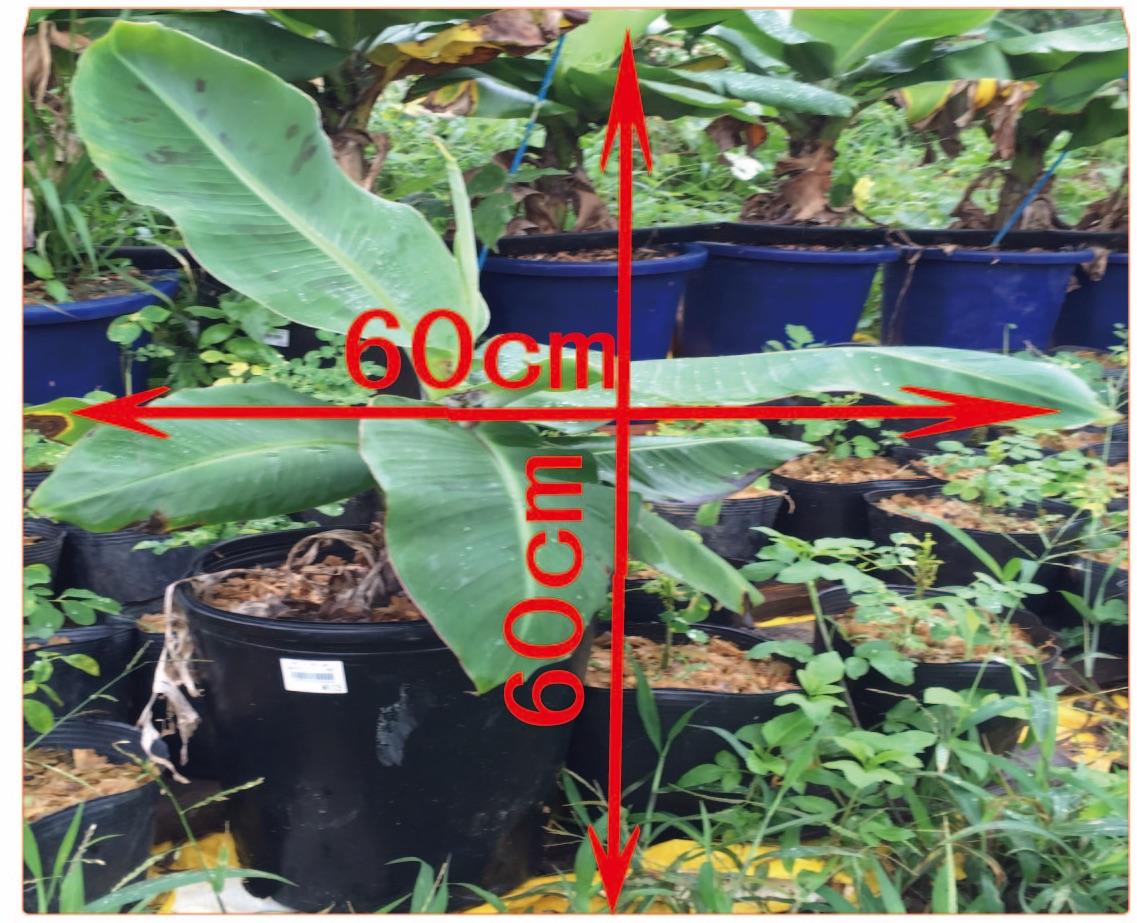 石垣島ミニバナナの苗のサイズ