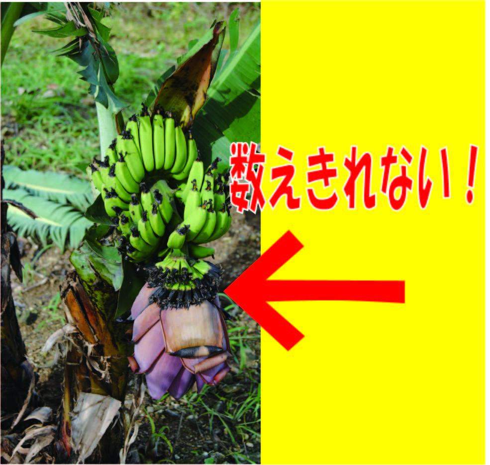 石垣島ミニバナナの苗 - 数え切れない