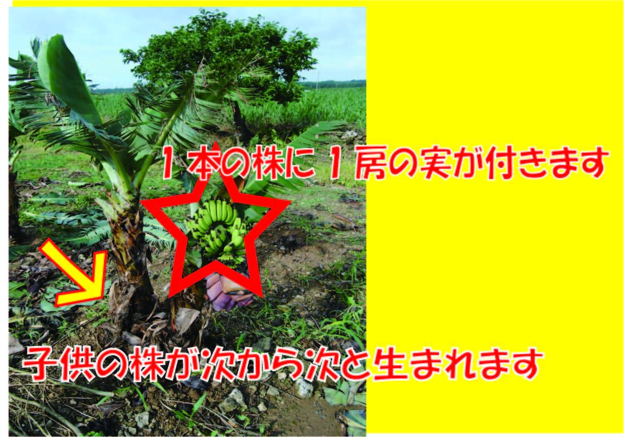 石垣島ミニバナナの苗 - 1本の株に1房の実がつきます