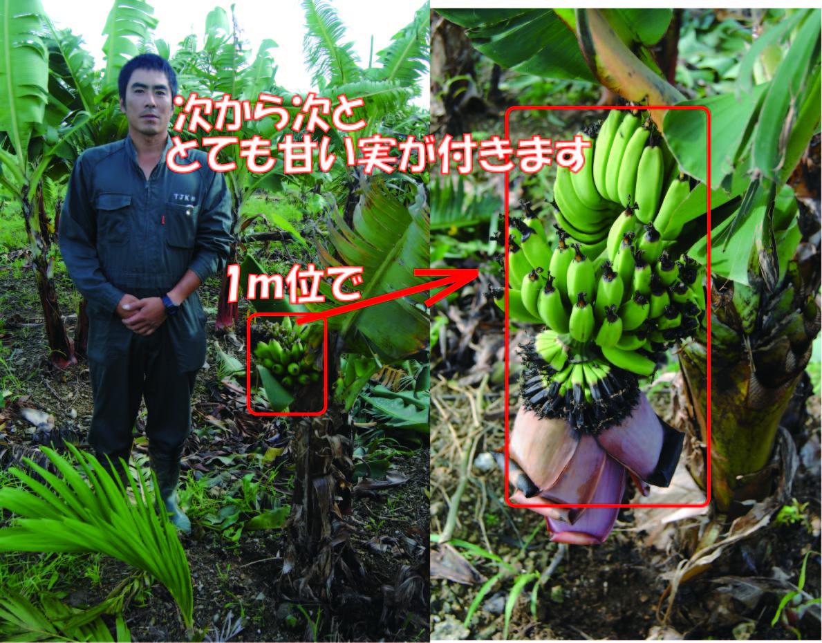 石垣島ミニバナナの苗