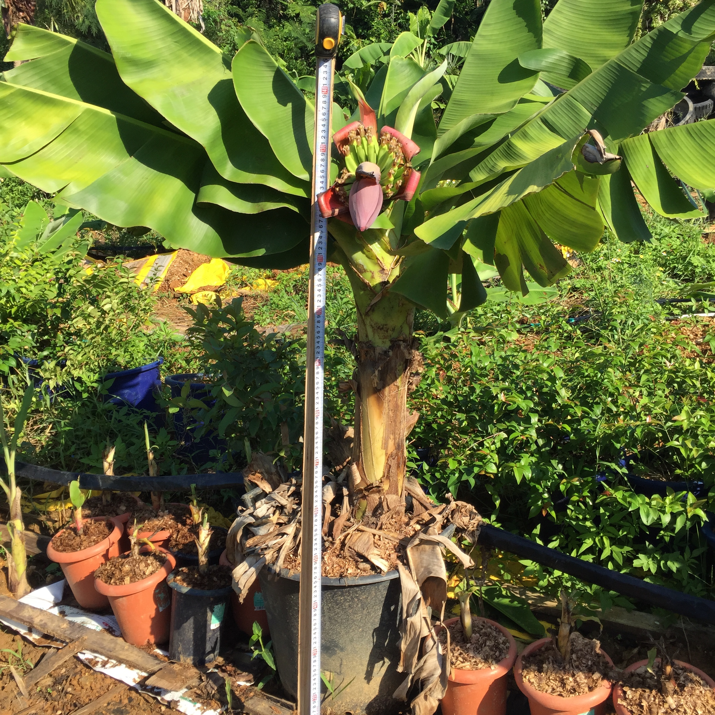 ミニバナナの収穫