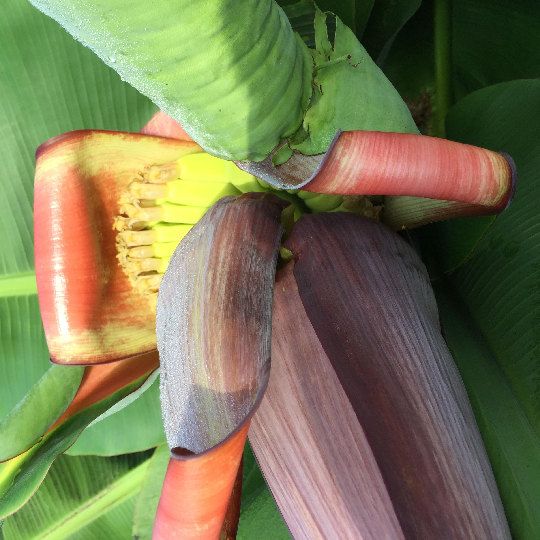 ミニバナナの写真